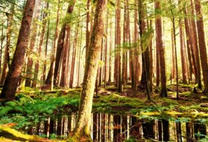 A forest of cedar trees