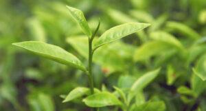 Tea Tree leaves